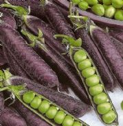 Pea Purple Podded - sugar snap or fresh peas